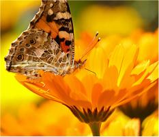 "Butterfly on a Flower Car Magnet 14""W x 12""H"